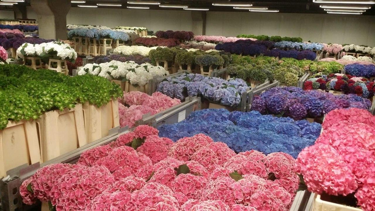 Цветы, как купить цветы на аукционе в голландии